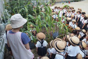 全園児が集まって、トウモロコシの収穫です。