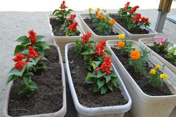 サルビア、マリーゴールド、ベゴニア、キキョウを植えました。