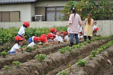 1列に並んで、芋掘りのスタートです。