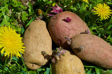 Plant potatoes when the dandelions bloom.