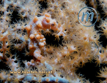Pygmäen-Seepferd, Hippocampus bargibanti, pygmy seahorse