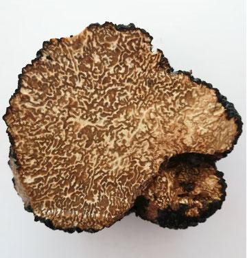 Die Trüffel (Tuber) - Zur Gattung Tuber gehören mehrere Arten von unterirdischen Pilzen, die üblicherweise Trüffel genannt werden und zur Familie der Tuberaceae gehören, Phylum (Division) der Ascomyceten.