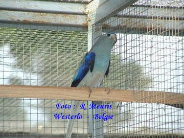 Neophema blauwvleugel blauw