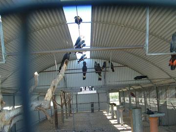 Kooi van 12 bij 6 meter voor jonge vogels, met aan de beide zijkanten een 10 tal kweekkooien.