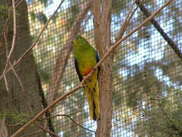 Neophema Oranjebuik.  Foto genomen in het Healesville park, Staats kweekcentrum, waar ze worden gekweekt om de jongen terug uit te zetten in de natuur.                               Er zouden nog slechts een 200 tal  in de natuur voorkomen.