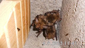 """2013 wurden drei """"Braune Langohren"""" in einem Spaltenkasten angetroffen."""