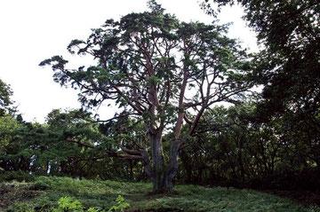 「天空の松」全景
