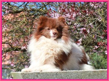 Pomeranian Hündin Q-Mo Kumo von der Arnold's Eiche