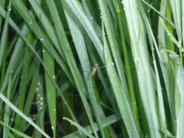 稲穂に蜘蛛の巣