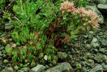 Blüte der Hybride Sempervivum arachnoideum × Sempervivum wulfenii, Dolomiten, in situ, Foto: Mariangela Costanzo, alle Rechte vorbehalten