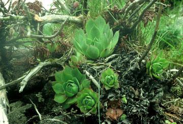Sempervivum wulfenii, Dolomiten, in situ, Foto: Mariangela Costanzo, alle Rechte vorbehalten