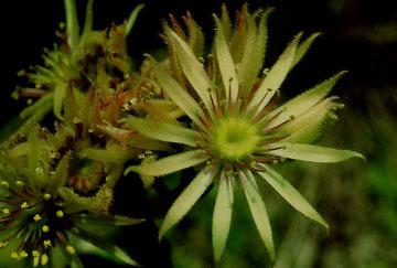 Blüte der Hybride vivum montanum × Sempervivum wulfenii, Foto: Mariangela Costanzo, alle Rechte vorbehalten
