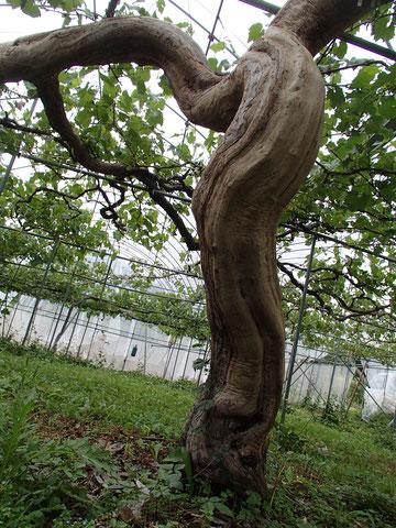 父の植えた木