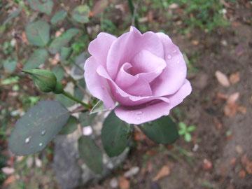 秋の名残のバラは…黄昏