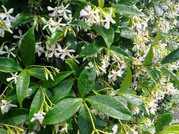 Rinchospermum