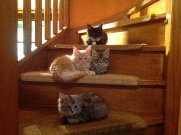 Nos chatons Maine Coon, dernière portée (2015)