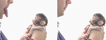マカクザルの新生児が相手の表情を真似ている Image:Wikipedia