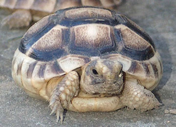 junge Breitrandschildkröte