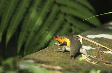 Lézard Balinais