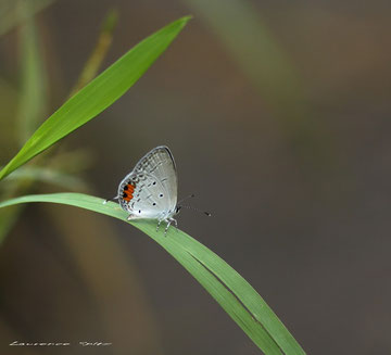 Papillon Balinais