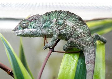 Jungtier, drei Monate alt, Männchen, beginnt schon Farbe zu zeigen