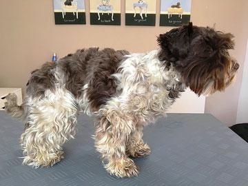 Zwergschnauzer vor dem Frisieren - Hundesalon Plisch & Plum