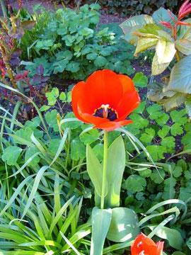 blühende Tulpe im Engel´schen Garten