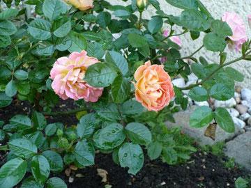 Rosen im Engel´schen Garten