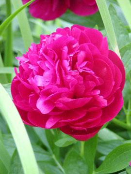 eine Rose im Engel´schen Garten