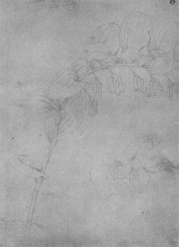 Salomonsiegel, Blütenstengel