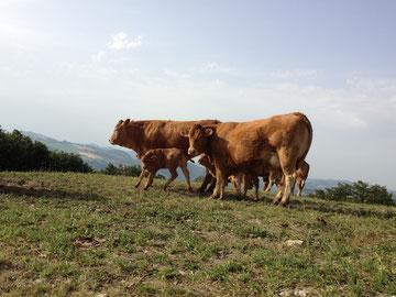 Mucche al pascolo con i vitellini