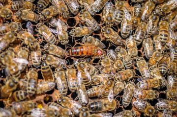 Reine de la ruche - Didier