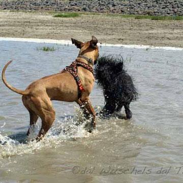 Bruk ist eigentlich Wasserscheu . . . aber beim Spielen im Meer vergisst man das . . .