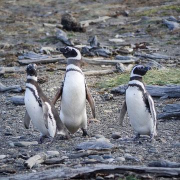 Humboldt-Pinguine bei Punta Arenas