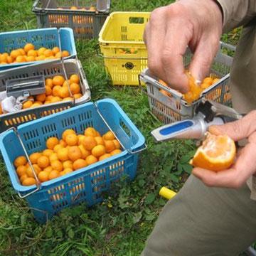 糖度計で温州みかんの糖度を計測して収穫する木を選ぶ