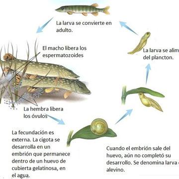 La reproducci n p gina web de bioamerica6 for La reproduccion de los peces