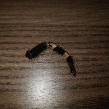 Bein von Brachypelma hamorii