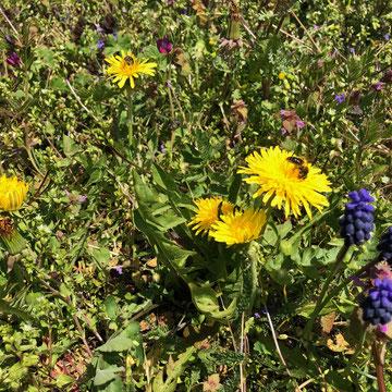 Blume und Biene im Weinberg