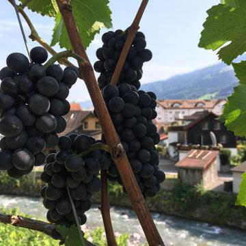 Weintraube Rotwein Pinot Noir