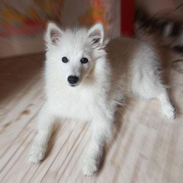 Aiko von der Horgenzeller Au, 19 Wochen jung