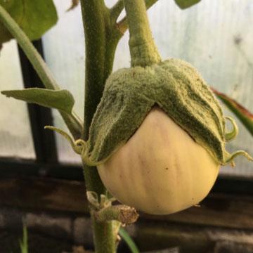Tonda bianca Sfumata die Rosa