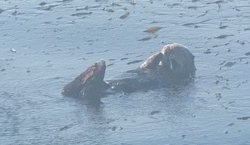 und ein Seeotter