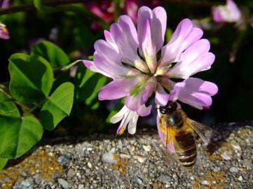 ミツバチ。Apis.