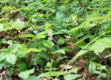 Zweiblättrige Schattenblume (Maianthemum bifolium) an einer Waldwegböschung im Eisengrund neben dem Heselbachweg