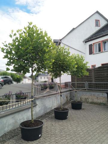 Die 3 Kugelpatanen auf der Terrasse
