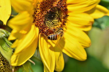 Abeille qui butine le nectar d'une fleur de tournesol
