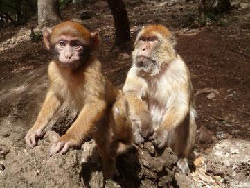 deux singes magots