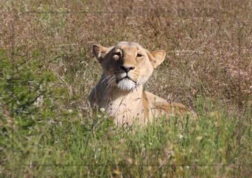 Rondreis Zuid-Afrika Safari Bobotie Reizen Leeuw