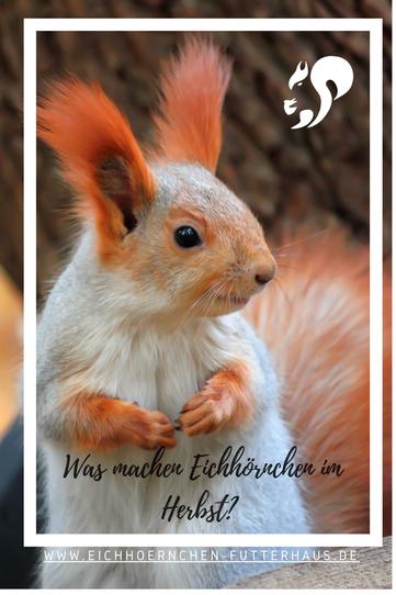 Was  machen Eichhörnchen im Herbst