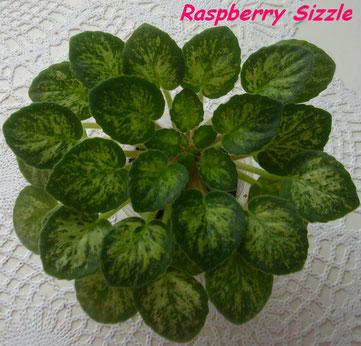 Raspberry Sizzle (P.Sorano)